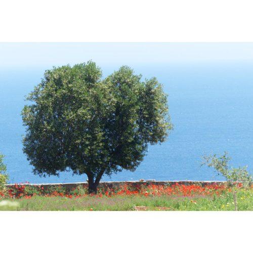 Olivenbaum mit Klatschmohn
