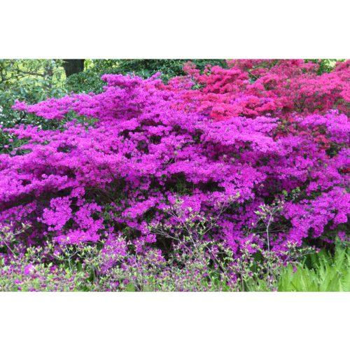 Azalia lila und rot