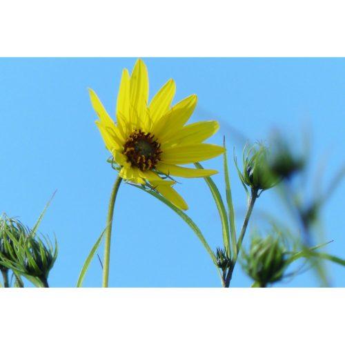 Sonnenhut gelb