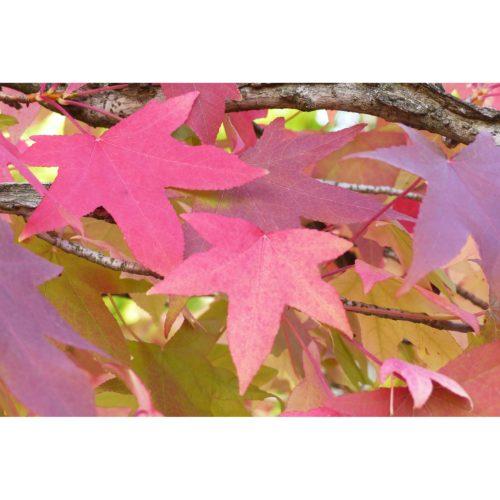 rote Herbstblätter