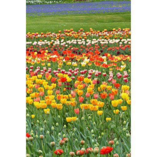 Frühlingswiese Tulpen