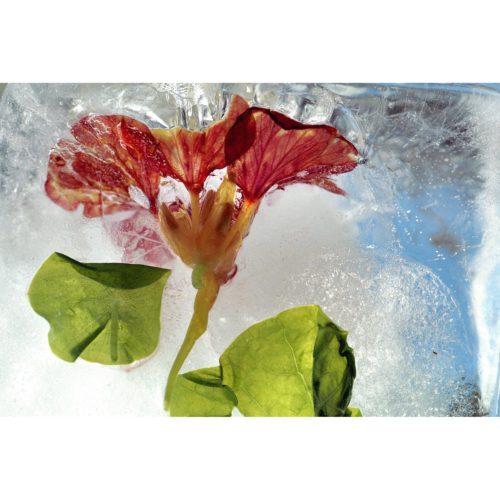 Kresse Blüte mit Blatt