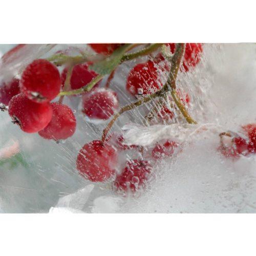 Rote Zwergmispeln in Eis