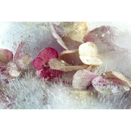 Hortensiablüten in Eis