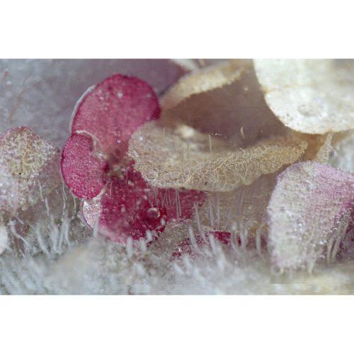 Hortensia in Eis