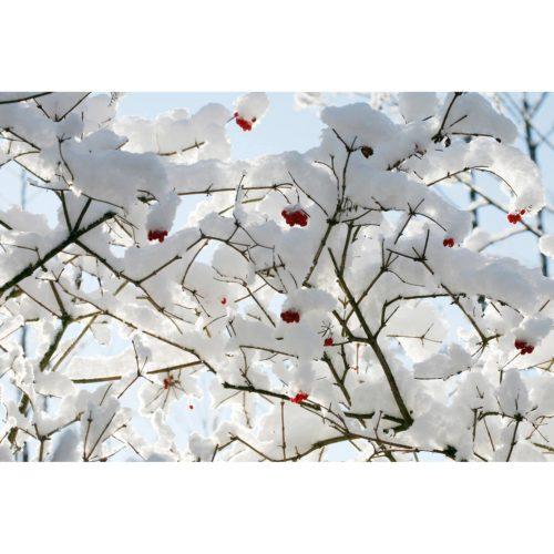 Schnee Zweige mit Beeren