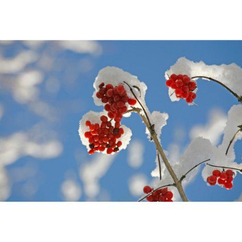 Beeren Schnee