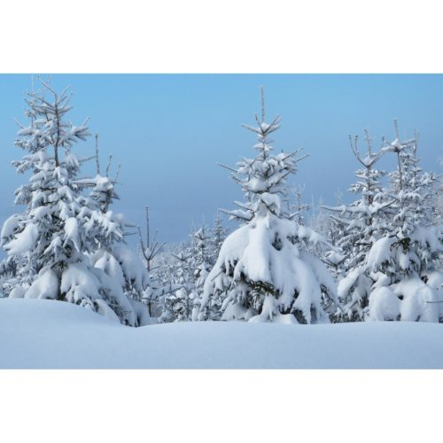 Tannen mit Schnee